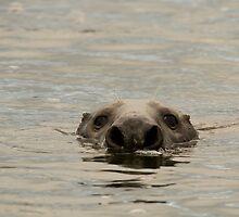 grey seal bull by Jon Lees