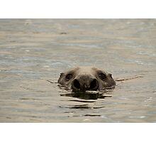 grey seal bull Photographic Print