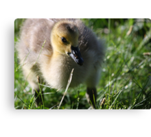 Canadian Chick Canvas Print