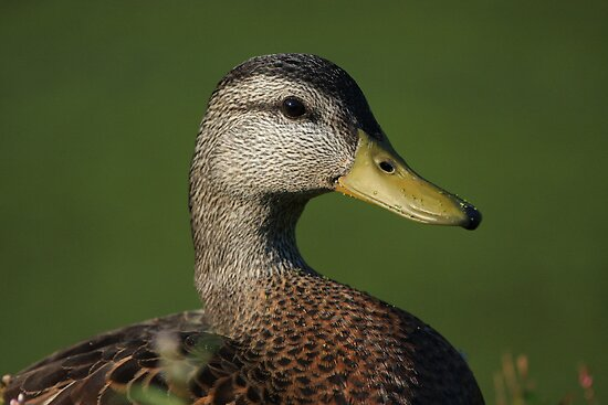 Mallard Posing by Karol Livote