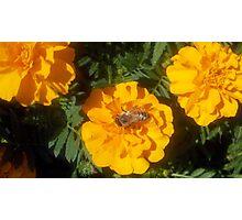 Bee Marigold visit Photographic Print