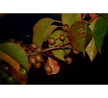 Bradford Pears Photographic Print