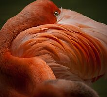 American Flamingo by Rick Ruppenthal