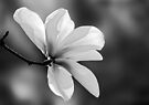 Magnolia Blossom - B&W by cclaude