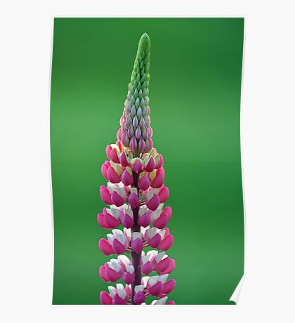 Pink Lupine Poster