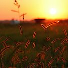 Sunset grasses by tanmari