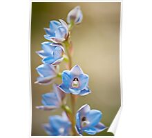 Australian Sun Orchid - Thelymitra ixioides Poster