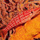 Longnose Hawkfish, Papua New Guinea by Allan Saben