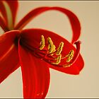 Red Jacobean lilly by Helenvandy