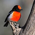Red Capped Robin taken at Bowra Station near Cunnamulla by Alwyn Simple