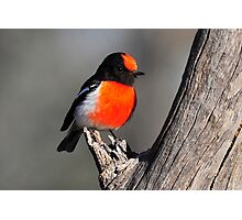 Red Capped Robin taken at Bowra Station near Cunnamulla Photographic Print
