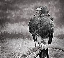 This IS my best side!  Harris Hawk by hampshirelady