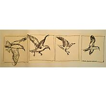 Four flying Seagulls: pen sketch. Photographic Print