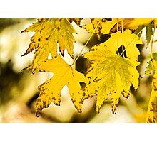 Autumn Maple Leaves Photographic Print