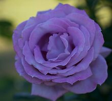 TWO TONE ROSE by normanorly