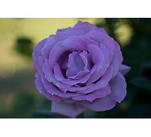 TWO TONE ROSE Photographic Print