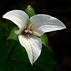White Trillium by cclaude