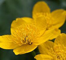 Meadow Buttercup by Wealie