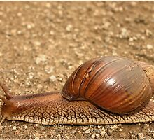 Giant land snail, Achatina achatina, South Africa - Lowveld by Sandy Beaton