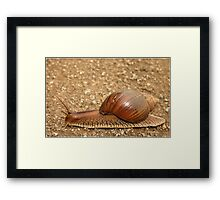 Giant land snail, Achatina achatina, South Africa - Lowveld Framed Print