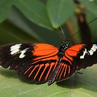 Black and red heliconius butterfly by vette