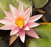 Pink Water Lily Bloom by Wealie