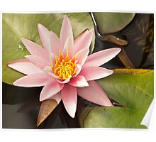 Pink Water Lily Bloom Poster