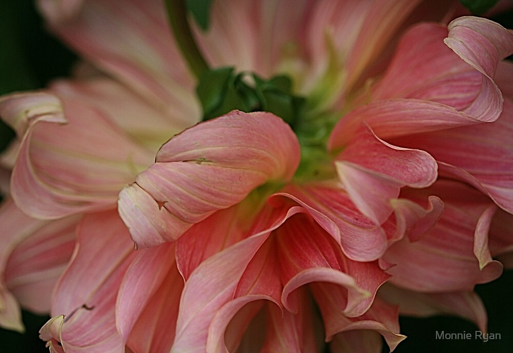 Pink Curls by Monnie Ryan