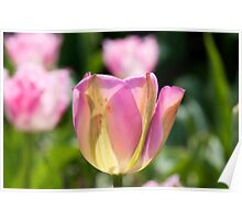 Pinky Green Tulips Poster