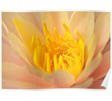 Pink and Yellow Water Lily Centre Poster