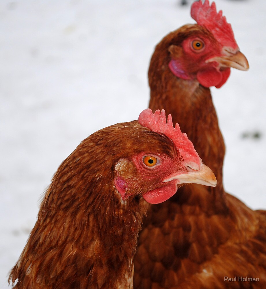 Chickens in the Snow by Paul Holman