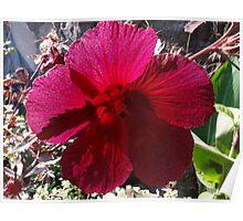 Elegant Rose of Sharon - extravagant colour Poster