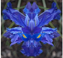 Iris # 459 by TIMOTHY  POLICH