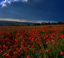 Lustrous Poppies by Stuart Chapman