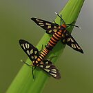 Day Moths Mating by Amran Noordin