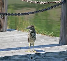 "Posing on the dock ""Green Night Heron"" by NewfieKeith"