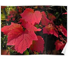 A string of crimson maple Poster