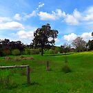 Blackbutt (Euc. patens) - Robert Mann by Golden Valley Tree Park