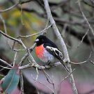 Scarlet Robin by Coralie Plozza