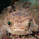 Orbicular Burrfish off Si Amil Island, Sabah, Malaysia by Erik Schlogl