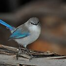 Female Blue Wren by Coralie Plozza
