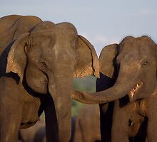 Asian Elephants - Sri Lanka by Austin Stevens