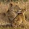 (Land Mammals Category) - Family - Felidae -  Tiger, Lion, Jaguar, Leopard, Cougar, Cheetah, Lynxes, Ocelot, Scottish Wild Cat