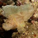 Leaf Scorpionfish (Taenianotus triacanthus) Kimbe,Papua New Guinea by Allan Saben