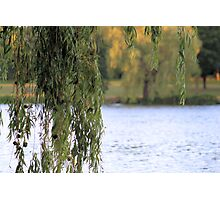 'Weeping Willow' Photographic Print