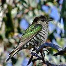 Shining Bronze-Cuckoo Two by Rick Playle