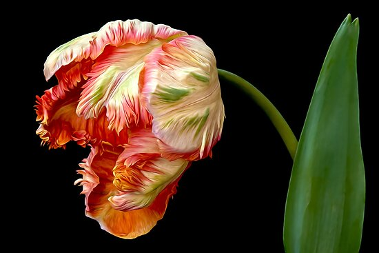 Apricot Tulip  by Leslie Nicole