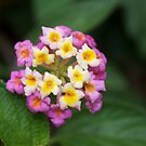 Lantana Flower by Alex Colcheedas