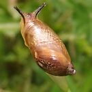 Juvenile Plaited Door Snail (?) by Michaela1991