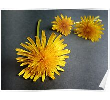 Indoor Sunshine...Dandelions Poster